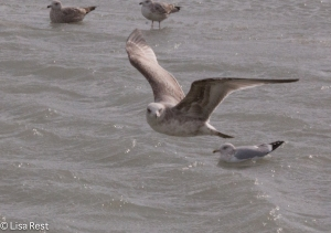 Second Cycle Thayer's Gull