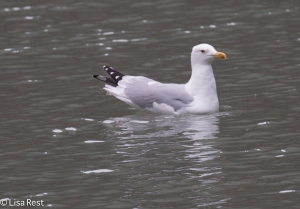 Adult Herring Gull Chicago River 2-24-15-5198