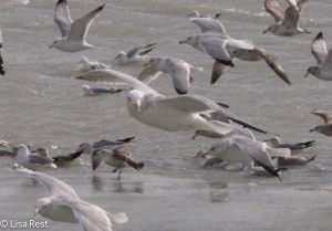 Adult Non-Breeding Thayer's Gull