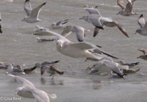 Adult Non-Breeding Thayer's Gull