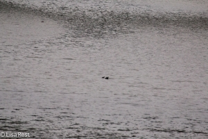 Two American Coots on 1-29-15: this was the view without binoculars