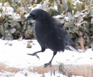 Cookie Crow 2-17-15-4417
