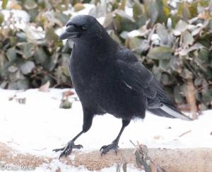 Cookie Crow 2-17-15-4418