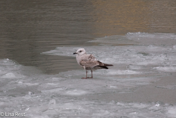 First Cycle Herring Gull