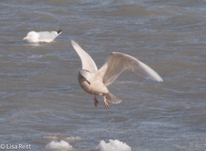 Glaucous Gull 2-14-15-3555