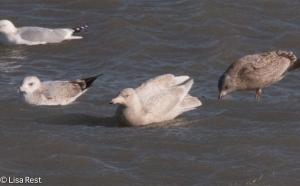 Glaucous Gull 2-14-15-3559