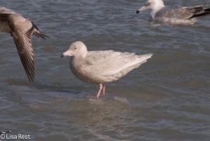 Glaucous Gull 2-14-15-3597