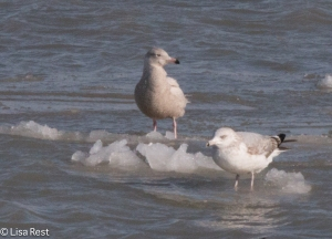 Glaucous Gull on the Ice
