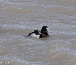 Greater Scaup with ice 2-14-15-3581