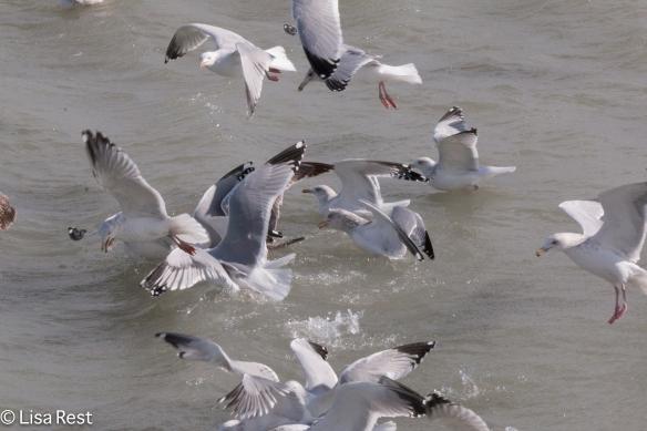 Gull Frolic 2-14-15-3226