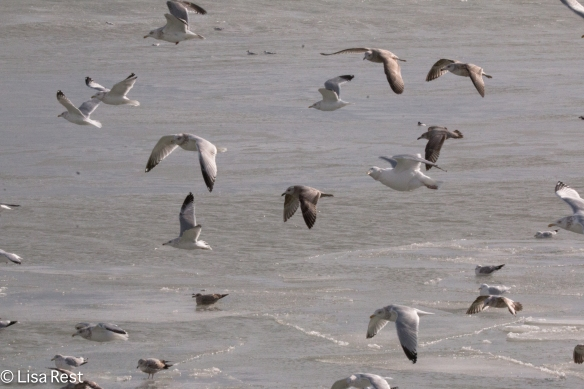 Gulls...frolicking