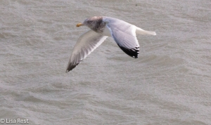 Adult Non-Breeding Herring Gull
