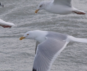 Adult Non-Breeding Herring Gulls