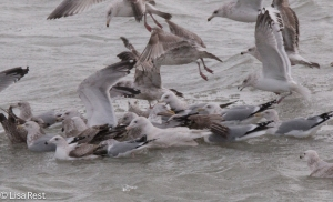 Herring, Thayer's and Iceland Gulls