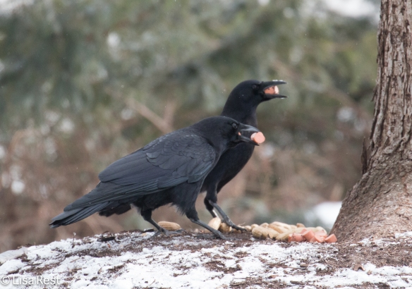 Hot Dog Crows 2-18-15-4608