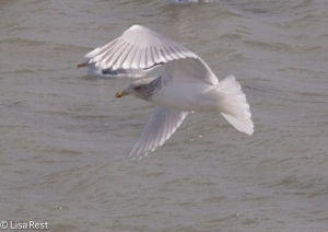 Possible Glaucous-Winged Gull