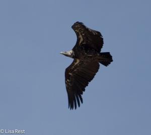 Ruppell's Griffon Vulture 11-22-2013-6822