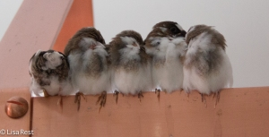 Society Finches napping in the kitchen
