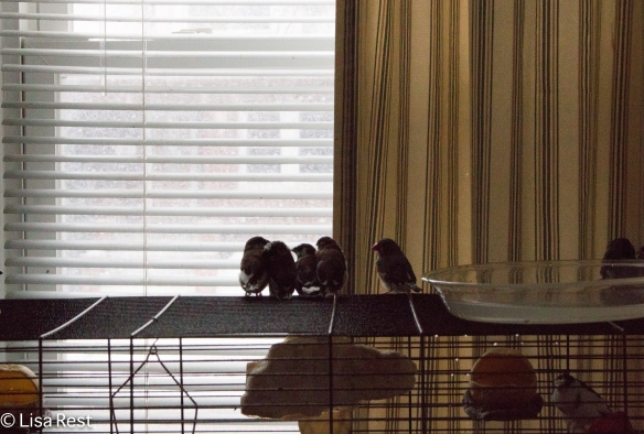 Society Finches Watching the Snow