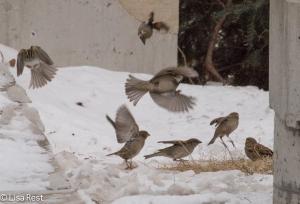 Sparrows 2-18-15-4550