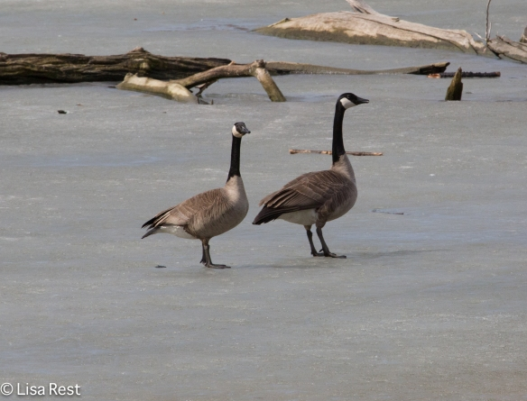 Canada Geese again later on the ice, looking triumphant and vigilant