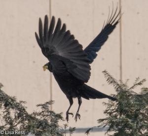 Crow 2-19-15-4819