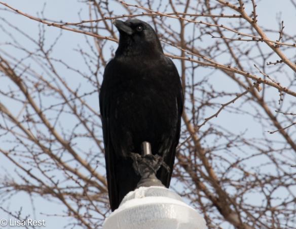 Crow 2-26-15-5273