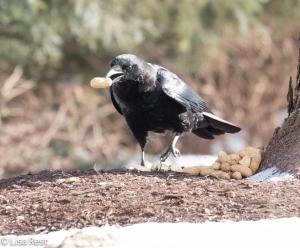 Crow 3-6-15-5649