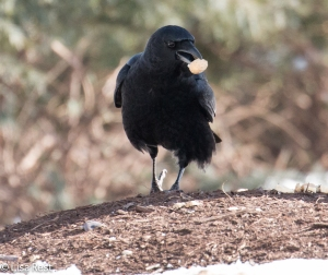 Crow 3-6-15-5651