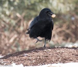 Crow 3-6-15-5652