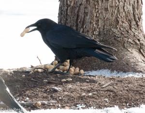 Crow 3-6-15-5677