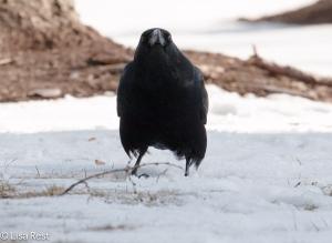 Crow 3-6-15-5688