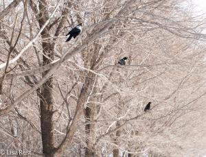 Crow 3-6-15-5691