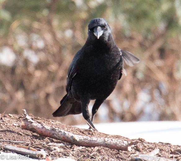 Crow 3-6-15-5697