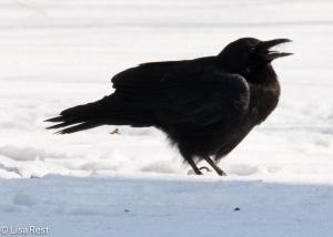 Crow 3-6-15-5723