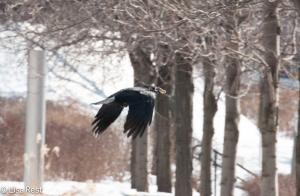 Crow 3-6-15-5731