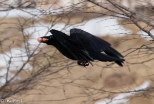 Crow w hot dogs 3-2-15-5397
