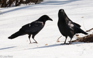 Crows 3-6-15-5621