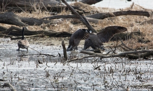 Goose Fight Portage 3-15-15-1404