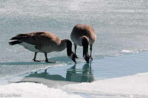 Canada Geese on the ice, 2-12-15