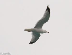 Ring-Billed Gull 3-16-15