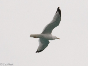 Ring-Billed Gull 3-16-15