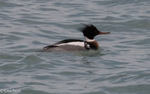 Red-Breasted Merganser 3-18-15