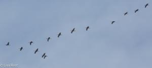 Sandbill Cranes, Chicago Portage 3-15-15