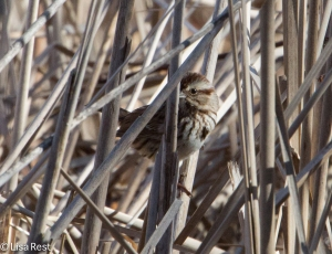 Song Sparrow, McGinnis Slough