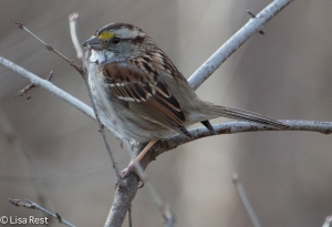 White-Throated Sparrow. Chicago Portage 3-15-15