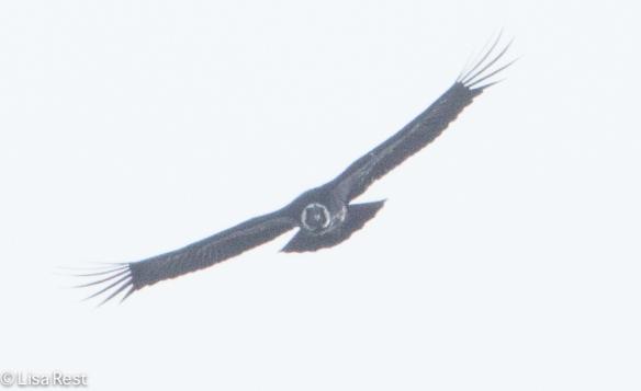 Andean Condor 04-01-15-3815