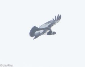 Andean Condor 04-01-15-3842