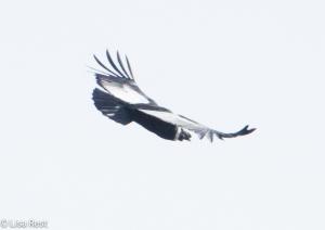 Andean Condor 04-01-15-3870