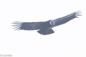 Andean Condor 04-01-15-3879